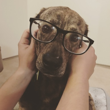 A closeup of a brown dog with large glasses on